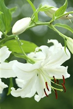 Preview iPhone wallpaper Spring, white lily flowers bloom