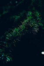 Spruce, needles, twigs