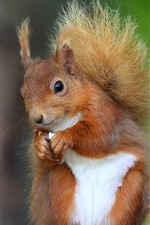 Preview iPhone wallpaper Squirrel eat nut, blurry background