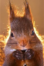 Preview iPhone wallpaper Squirrel front view, backlight