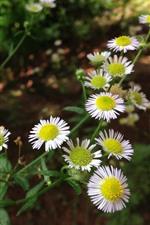 Flores de verão, camomila branca, nebuloso