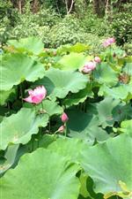 Preview iPhone wallpaper Summer, lotus, bloom, green leaves