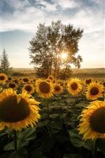 Sunflowers, trees, morning, sun rays
