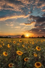 Preview iPhone wallpaper Sunflowers, trees, sunset, sky