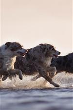 Three dogs running, speed, water, splash