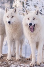 Preview iPhone wallpaper Three white wolves, winter, snow