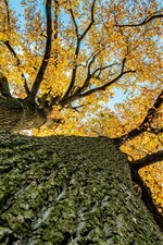 Tree, bottom view, trunk, yellow leaves, autumn