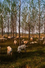 Trees, sheep eat grass, countryside