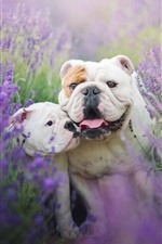 Preview iPhone wallpaper Two bulldogs, lavender flowers