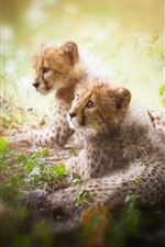 Preview iPhone wallpaper Two cheetah cubs, hazy