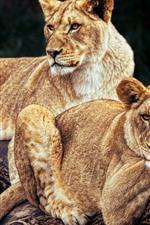 iPhone fondos de pantalla Dos leonas, descanso, tronco.