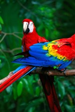 Preview iPhone wallpaper Two macaws, parrots, colorful feathers