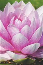 Water lily bloom, pink petals