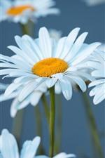 Preview iPhone wallpaper White chamomile, petals, bokeh