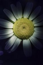 iPhone fondos de pantalla Manzanilla blanca, pétalos, oscuridad, estilo arte.