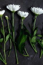 Preview iPhone wallpaper White daisy, gray background