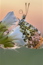 Preview iPhone wallpaper White flowers, butterfly, wings, insect