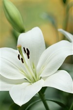 Preview iPhone wallpaper White lily flowers close-up
