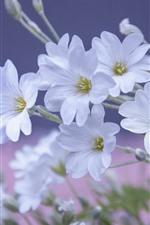 Preview iPhone wallpaper White petals flowers, spring
