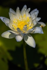 미리보기 iPhone 배경 화면 흰색 꽃잎 연꽃, 노란색 암 꽃 술, 꽃 근접 촬영