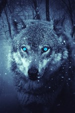Wolf, blue eyes, snowy, winter, forest
