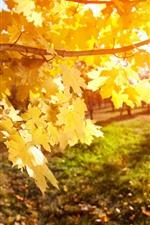iPhone обои Желтые листья клена, дерево, солнце