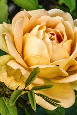 Yellow rose close-up, flowers