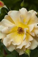 Close-up rosa amarela, pétalas, botões de flores