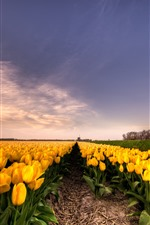 Yellow tulips, flowers field, windmill