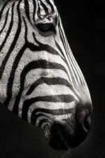 Preview iPhone wallpaper Zebra, side view, black background