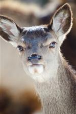 Preview iPhone wallpaper Animal, doe, deer, look, ear