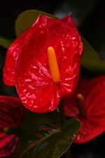 Preview iPhone wallpaper Anthurium flower