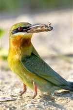 Preview iPhone wallpaper Bee-eater, bird, ground