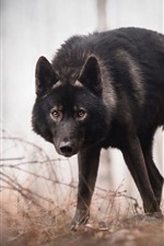 Preview iPhone wallpaper Black wolf look at you, forest