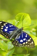 iPhone fondos de pantalla Alas azules de mariposa, hojas verdes.