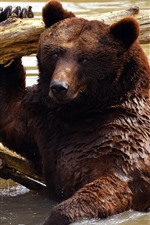 Preview iPhone wallpaper Brown bear bathing in water