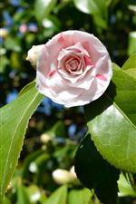 iPhone壁紙のプレビュー カメリア、ピンクの花、緑の葉