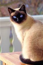 iPhone fondos de pantalla Mirada de gato hacia atrás, ojos azules.