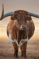 Preview iPhone wallpaper Cow front view, horns, grass, sunset