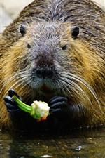Coypu come comida