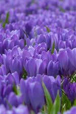 Preview iPhone wallpaper Crocuses fields, purple flowers