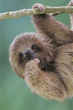 Preview iPhone wallpaper Cute animal, sloth