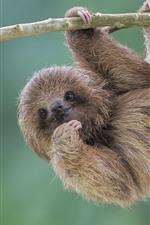 Vorschau des iPhone Hintergrundbilder Süßes Tier, Faultier