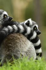 Preview iPhone wallpaper Cute animals, lemur, hugging