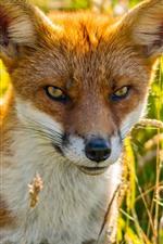 Preview iPhone wallpaper Cute fox, grass, backlight