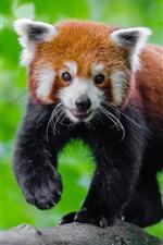 Panda vermelho bonito, fundo verde