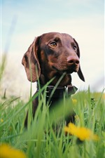 Preview iPhone wallpaper Dachshund, dog, grass