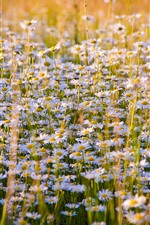 Preview iPhone wallpaper Daisies flowers field