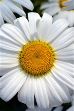 Preview iPhone wallpaper Daisy, flowers, white petals