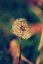 미리보기 iPhone 배경 화면 민들레, 꽃, 식물
